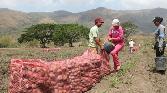 Carabobo cuenta con siembra de 30 mil hectáreas en diversos rubros