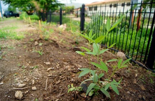 Continuamos fortaleciendo   agricultura urbana en Miguel Peña